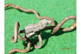 Höckerkopfgeckos