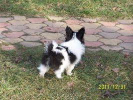 Foto 2 Hohe Qualität, schöne PAPILLON Hundewelpen zu verkaufen
