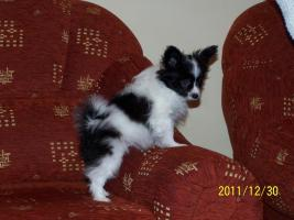 Foto 3 Hohe Qualität, schöne PAPILLON Hundewelpen zu verkaufen