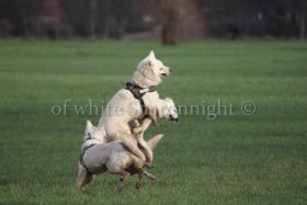 Holic- weißere Schäferhund.. ein Deckrüde stellt sich vor