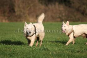 Foto 2 Holic- weißere Schäferhund.. ein Deckrüde stellt sich vor