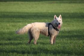 Foto 3 Holic- weißere Schäferhund.. ein Deckrüde stellt sich vor