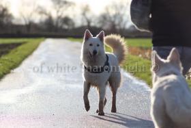 Foto 4 Holic- weißere Schäferhund.. ein Deckrüde stellt sich vor