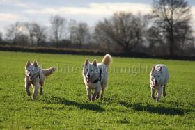 Foto 5 Holic- weißere Schäferhund.. ein Deckrüde stellt sich vor