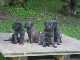 Foto 3 Holländischer Schäferhund Welpen