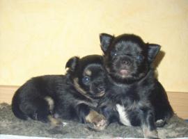 Hübsche Chihuahauwelpen in L/H suchen liebevolles Zuhause ( JUNI)