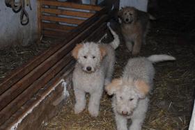 Foto 3 Hütehundewelpen(Schafpudel)