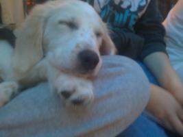 Foto 3 Hund Labrador-Mix