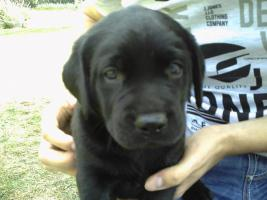 Hund Labradorwelpe