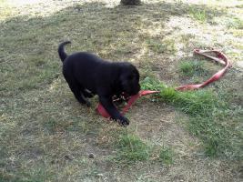 Foto 3 Hund Labradorwelpe
