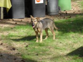 Foto 3 Hunde bei Hannover auf Pflegestelle, Bringen auch gern möglich