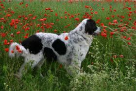 Hunde Landseer