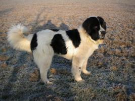 Foto 2 Hunde Landseer