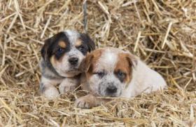 Foto 4 Hunde Welpen