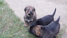 Foto 5 Hundemischlingswelpen abzugeben