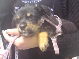 Hundewelpen 10 Wochen alt