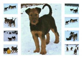 Hundewelpen Airedale - Terrier