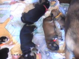 Hundewelpen suchen Familie