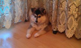 Foto 2 Husky