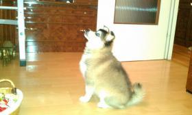 Foto 4 Husky