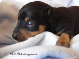 I sell puppies Praque ratter