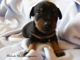 Foto 3 I sell puppies Praque ratter
