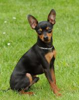 Foto 6 I sell puppies Praque ratter