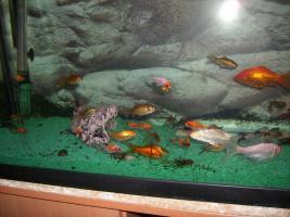 Ich biete Goldfische und Shubukingoldfische