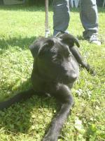 Foto 2 Ich habe eine Labrador Hündin fast 6 Monate alt abzugeben