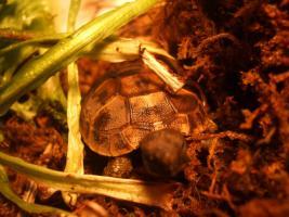 Infos über Griechische Landschildkröten
