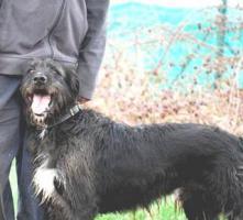 Irischer Wolfshund Mix BANTU sucht ein zuhause oder PS