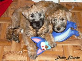 Foto 4 Irish Soft Coated Wheaten Terrier Welpen