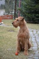 Foto 2 Irish Terrier Welpen FCI