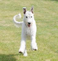 Foto 2 Irish Wolfhound von Koppas Hof