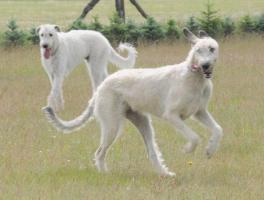 Foto 3 Irish Wolfhound von Koppas Hof