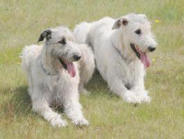 Foto 4 Irish Wolfhound von Koppas Hof