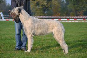 Foto 2 Irish Wolfhound Welpen zu verkaufen