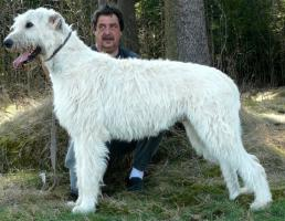 Irish Wolfhound Wurfankündigung