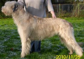 Foto 2 Irish Wolfhound Wurfankündigung