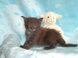 Foto 3 ** Iron Hawk's ** Knuffige Maine Coon Kitten