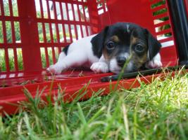 Jack-Russel-Mischlings-Hündin ca. 8 Wochen alt