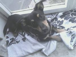 Jack Russel Terrier 9 monate alt