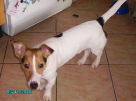 Jack Russel Terrier umständehalber abzugeben