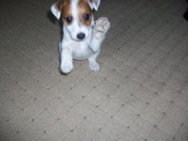 Foto 2 Jack-Russel-Terrier welpe!