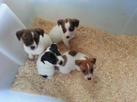 Foto 2 Jack Russell Terrier Welpen