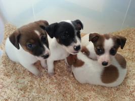 Foto 5 Jack Russell Terrier Welpen