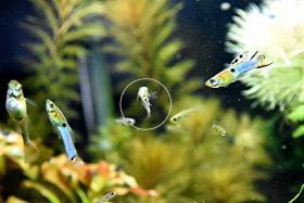 Foto 6 Japan Blue, Endler, RARITÄT, reinerbig, Versand