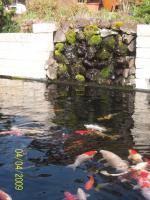 Foto 4 Japanische Koi´s