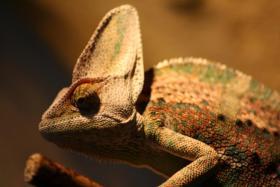 Foto 2 Jemen Chameleon mit oder ohneTerrarium und zubehör