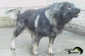 Jugoslawischer Hirtenhund - Sarplaninac FCI 4302
